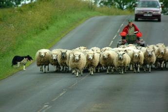flock-of-sheep-walking-on-road